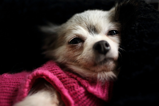 Resting「Chihuahua dog wearing pink sweater」:スマホ壁紙(16)