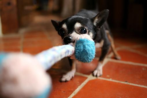 Alertness「Chihuahua dog tugging rope toy」:スマホ壁紙(3)