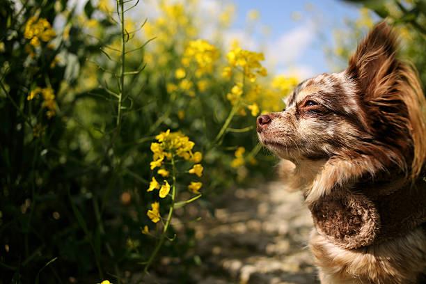 Chihuahua dog standing in canola field:スマホ壁紙(壁紙.com)