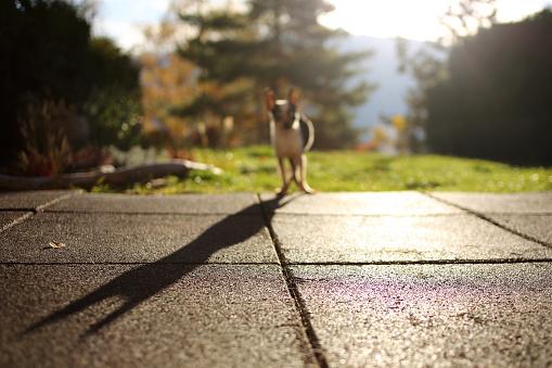 Dog「Chihuahua dog standing in garden」:スマホ壁紙(19)