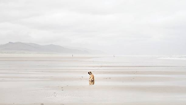 Rear view of pug dog sitting on beach, California, America, USA:スマホ壁紙(壁紙.com)