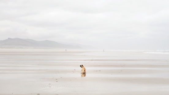 Cannon Beach「Rear view of pug dog sitting on beach, California, America, USA」:スマホ壁紙(19)