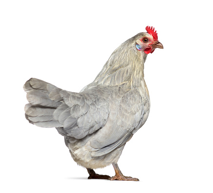 Belgium「Rear view of a Belgian hen」:スマホ壁紙(5)