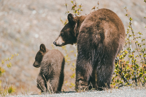 Bear Cub「Rear view of bear and cub walking」:スマホ壁紙(16)