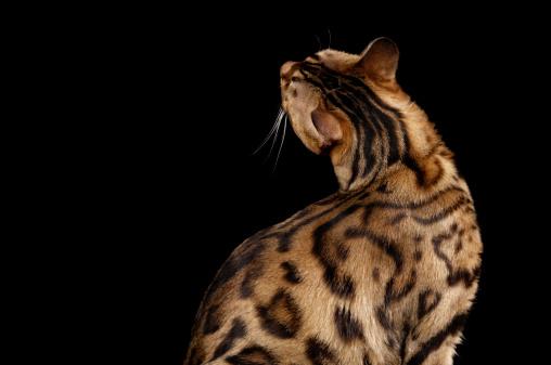 ベンガル猫「背面のベンガル cat craning ネックます。」:スマホ壁紙(7)