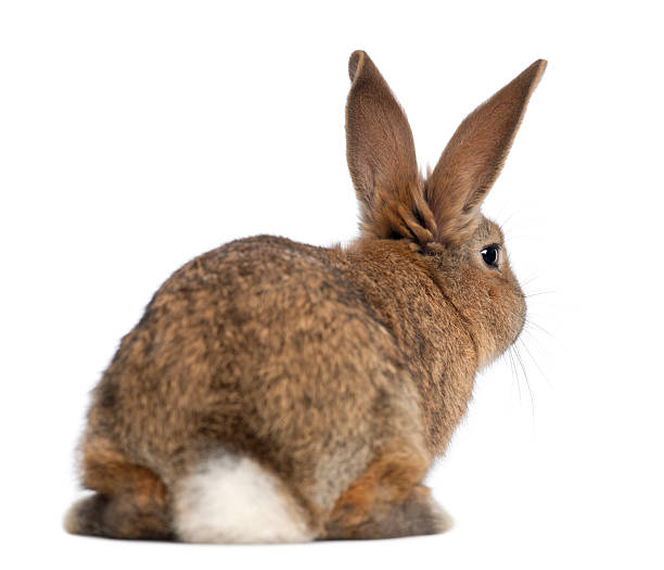 Rear view of a rabbit:スマホ壁紙(壁紙.com)