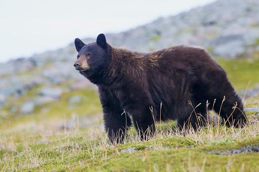 レーニア山国立公園「Watchful Black Bear (Ursus Americanus) in grass, Mount Rainier National Park, Washington State, USA」:スマホ壁紙(18)
