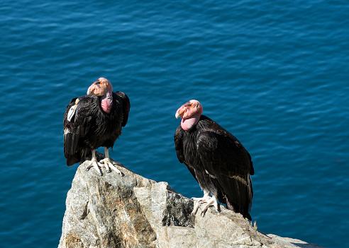 Big Sur「Condors along the Big Sur Coastline, California」:スマホ壁紙(14)