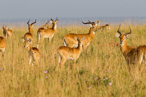 花「Uganda kob, Kobus kob thomasi, Murchison Falls National Park, Uganda」:スマホ壁紙(7)