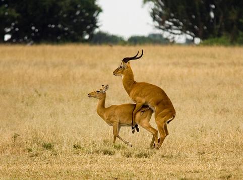 International Biosphere Reserves「Uganda Kob attempting to mate」:スマホ壁紙(16)
