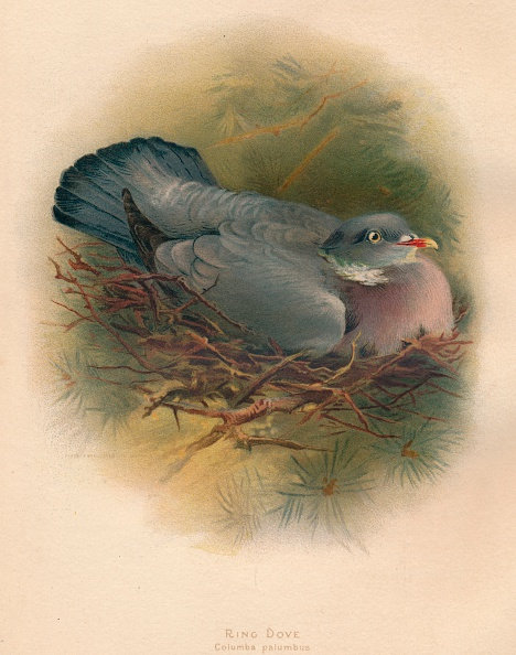 Animal Wildlife「'Ring Dove (Columbs palumbus)', 1900, (1900)」:写真・画像(14)[壁紙.com]