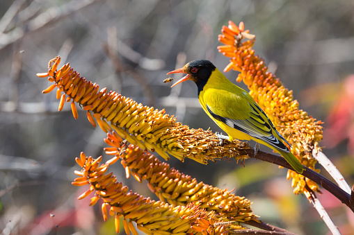 Animals Hunting「Black-headed oriole sitting on yellow aloe to catch bees.」:スマホ壁紙(1)