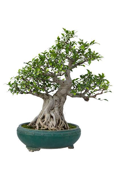 bonsai tree:スマホ壁紙(壁紙.com)