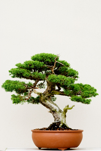 Juniper Tree「Bonsai tree」:スマホ壁紙(11)