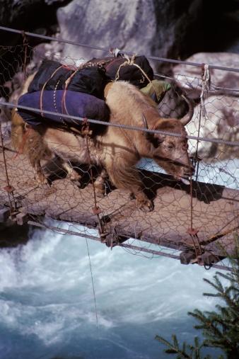 Yak「Laden ox crossing a river on a wooden bridge」:スマホ壁紙(18)
