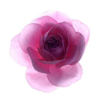 In The Center「Back lit fragrant pink rose,'Rosa Gertrude Jekyll',in close-up」:スマホ壁紙(18)