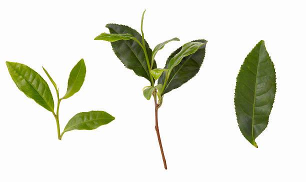 Green Tea Leaves:スマホ壁紙(壁紙.com)