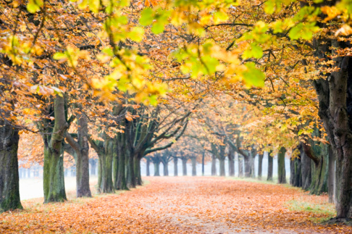 Chestnut Tree「Germany, Westphalia, North-Rhine, Cologne, Chestnut trees in autumn」:スマホ壁紙(11)