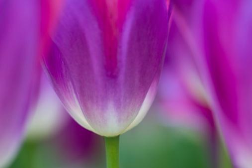 Keukenhof Gardens「Selective focus on tulip kuekenhof gardens」:スマホ壁紙(17)