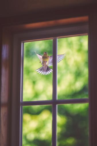 Bird「Goldfinch pecking at window」:スマホ壁紙(6)