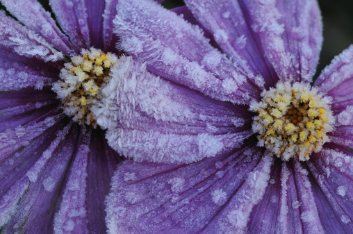 Cosmos Flower「Frost on Purple Cosmos Flowers」:スマホ壁紙(15)