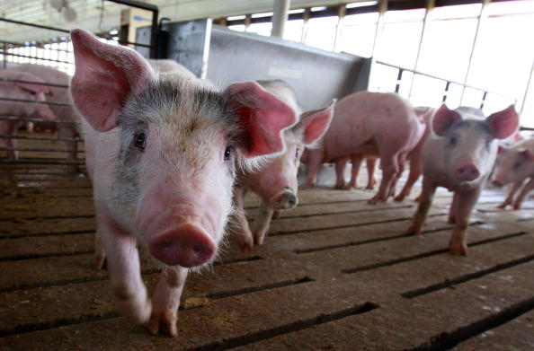 Farm「Misconceptions Surrounding Eating Pork And The Swine Flu Lower Hog Prices」:写真・画像(6)[壁紙.com]