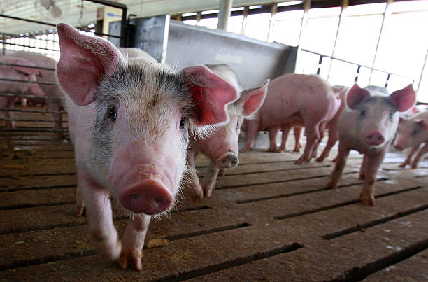 Misconceptions Surrounding Eating Pork And The Swine Flu Lower Hog Prices:ニュース(壁紙.com)