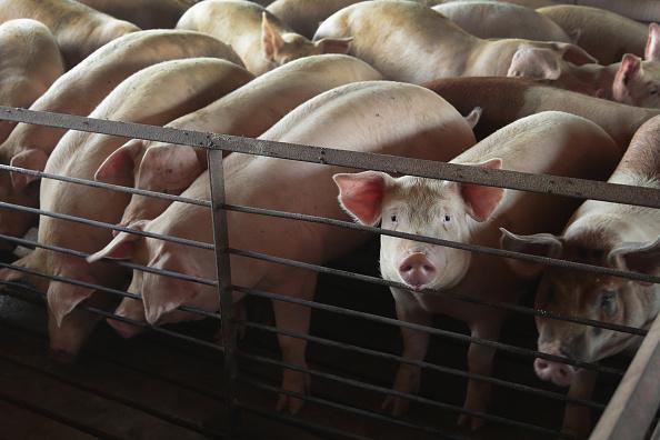 Pig「President Trump's 12 Billion Federal Aid Package Aims To Help Farmers Hurt By Trade War Tariffs」:写真・画像(16)[壁紙.com]