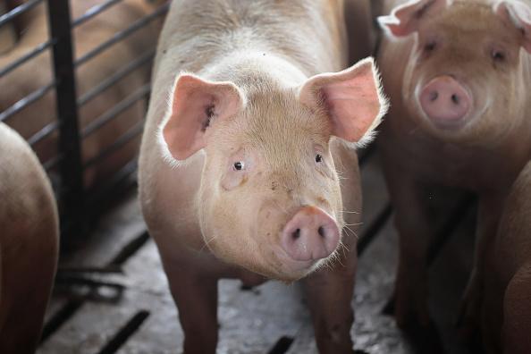 Pig「President Trump's 12 Billion Federal Aid Package Aims To Help Farmers Hurt By Trade War Tariffs」:写真・画像(17)[壁紙.com]