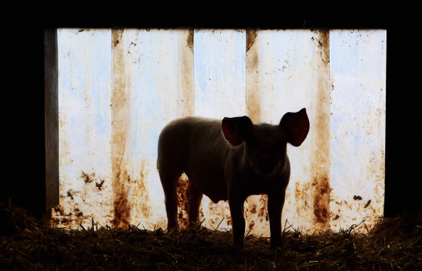 Pig「Organic Farms Likely To Benefit From Dioxin Scandal」:写真・画像(12)[壁紙.com]