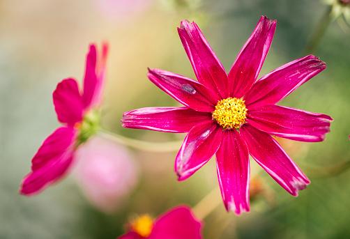 コスモス「Pink Mexican Aster」:スマホ壁紙(9)