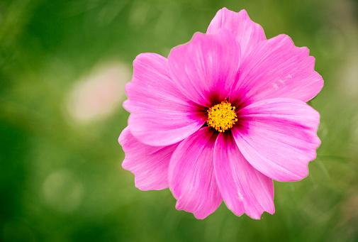 コスモス「Pink Mexican Aster」:スマホ壁紙(13)