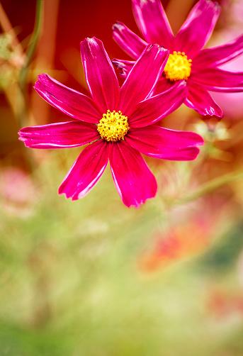 コスモス「Pink Mexican Aster」:スマホ壁紙(10)