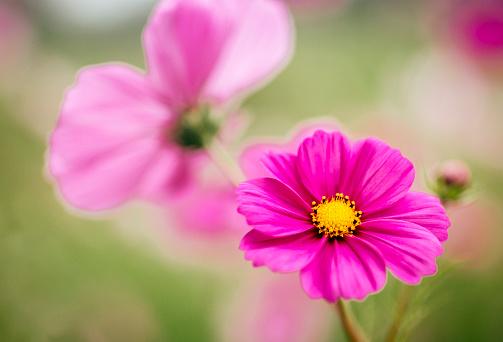 コスモス「Pink Mexican Aster」:スマホ壁紙(11)