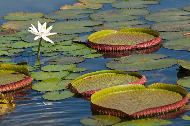 Single lotus blooming among lily pads in the Amazon:スマホ壁紙(壁紙.com)