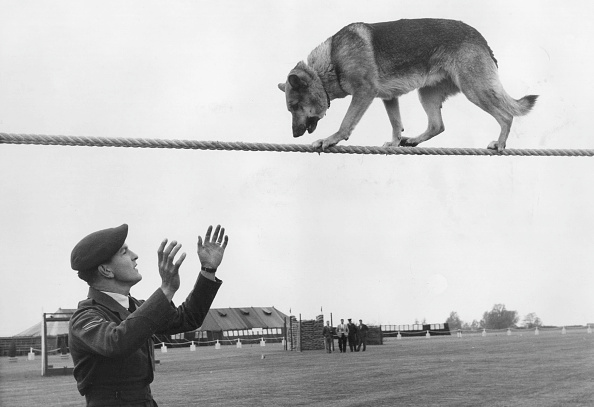 Animal「Police Dog Trials」:写真・画像(5)[壁紙.com]
