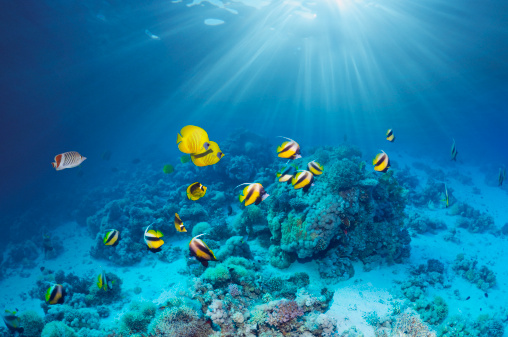 Masked Butterflyfish「Butterflyfish over coral reef」:スマホ壁紙(14)