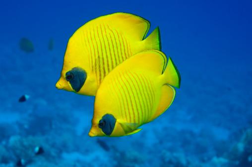 熱帯魚「Butterflyfish」:スマホ壁紙(3)