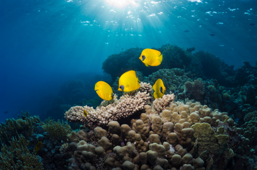 Soft Coral「Butterflyfish with shafts of sunlight」:スマホ壁紙(12)