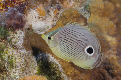 Butterflyfish「Butterflyfish swimming on tropical coral reef」:スマホ壁紙(19)