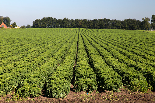 North Brabant「Rows of curly kale」:スマホ壁紙(10)