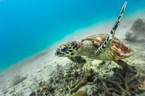 Green Turtle「Rare underwater encounter with Critically Endangered Hawksbill Sea Turtle (Eretmochelys imbricata)」:スマホ壁紙(19)
