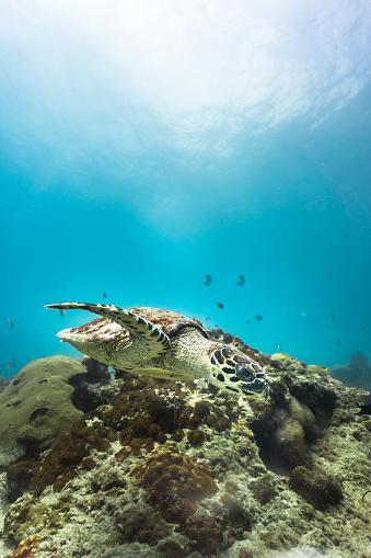 Green Turtle「Rare underwater encounter with Critically Endangered Hawksbill Sea Turtle (Eretmochelys imbricata)」:スマホ壁紙(4)