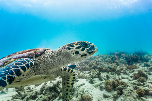 Green Turtle「Rare underwater encounter with Critically Endangered Hawksbill Sea Turtle (Eretmochelys imbricata)」:スマホ壁紙(4)