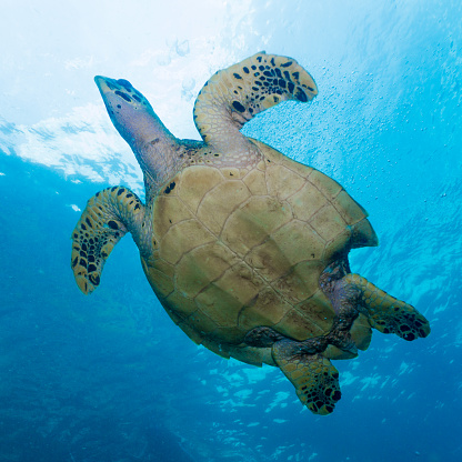 Hawksbill Turtle「Rare underwater encounter with Critically Endangered Hawksbill Sea Turtle (Eretmochelys imbricata)」:スマホ壁紙(12)