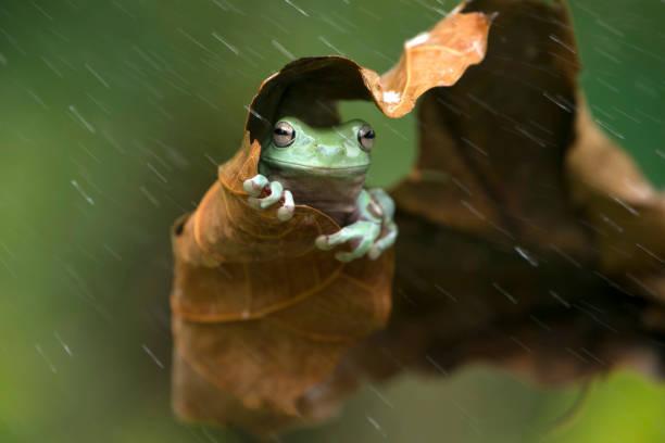 Frog sheltering under a leaf in the rain, Indonesia:スマホ壁紙(壁紙.com)