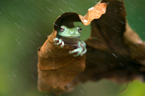 Amphibian「Frog sheltering under a leaf in the rain, Indonesia」:スマホ壁紙(11)