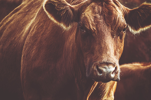 Cattle「Brown cow is looking at the camera in dusk」:スマホ壁紙(18)