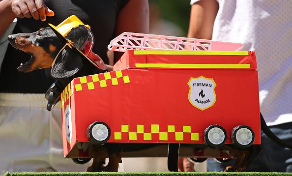 Sports Race「Annual Dachshund Race Celebrates Start Of Oktoberfest In Australia」:写真・画像(10)[壁紙.com]