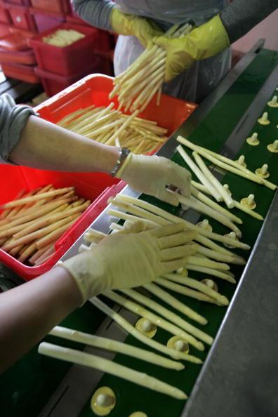 Asparagus「Asparagus Harvest Draws Seasonal Workers」:写真・画像(9)[壁紙.com]